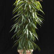 Ficus Alií